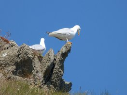Gulls on cliffs