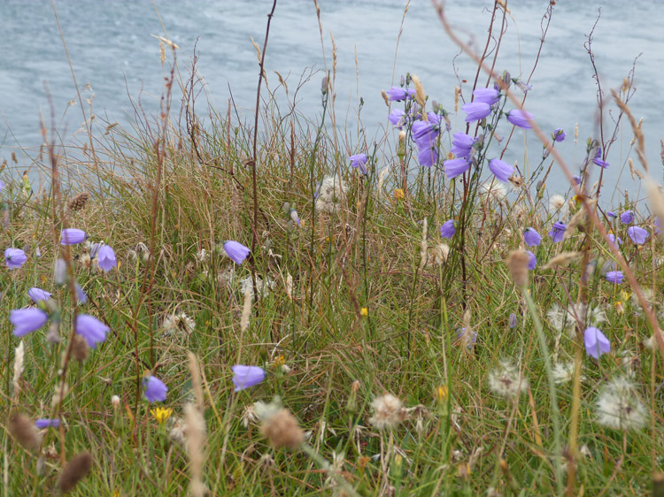 Harebells and grasses at the Mull of Galloway